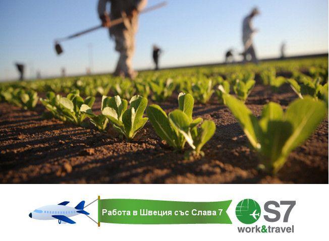 Работа в Швеция/ Позиция: Работници за ферма за зеленчуци